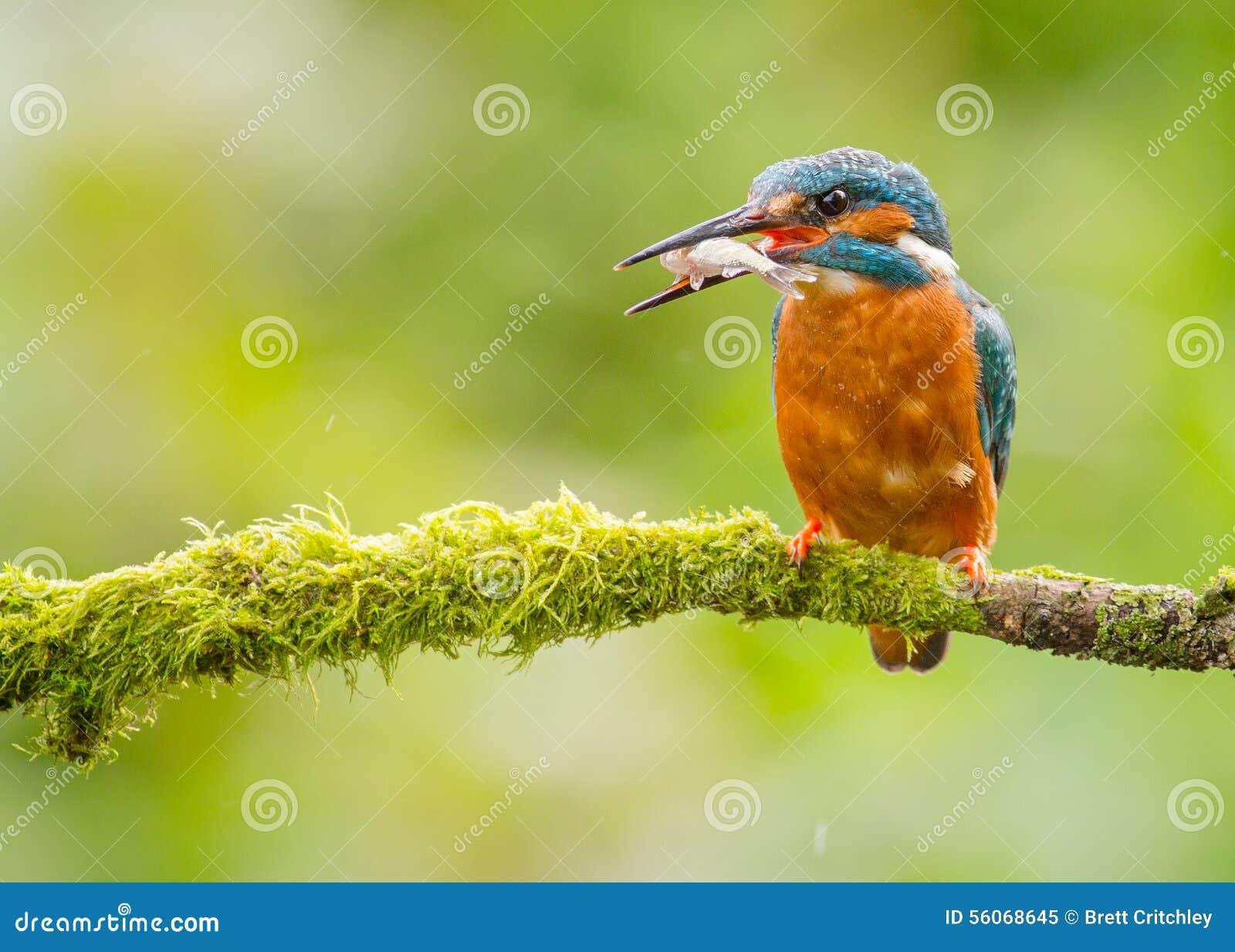 Pájaro del martín pescador