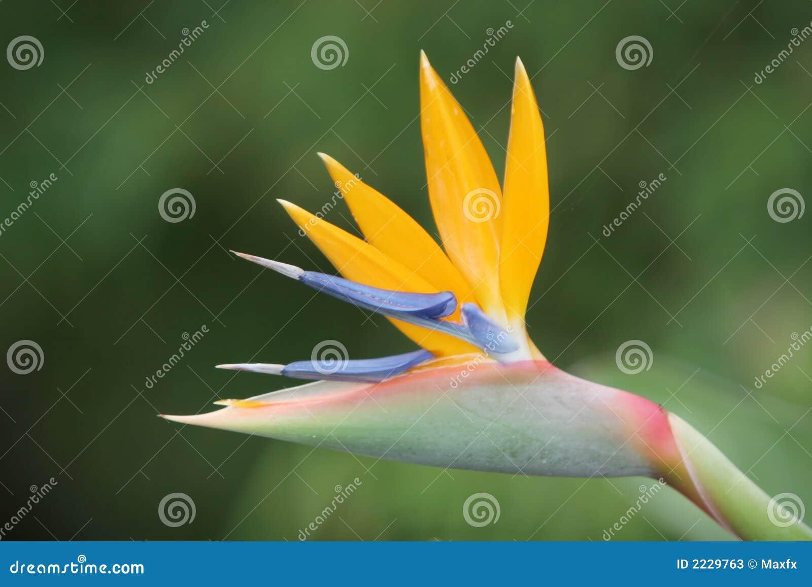 Pájaro del paraíso