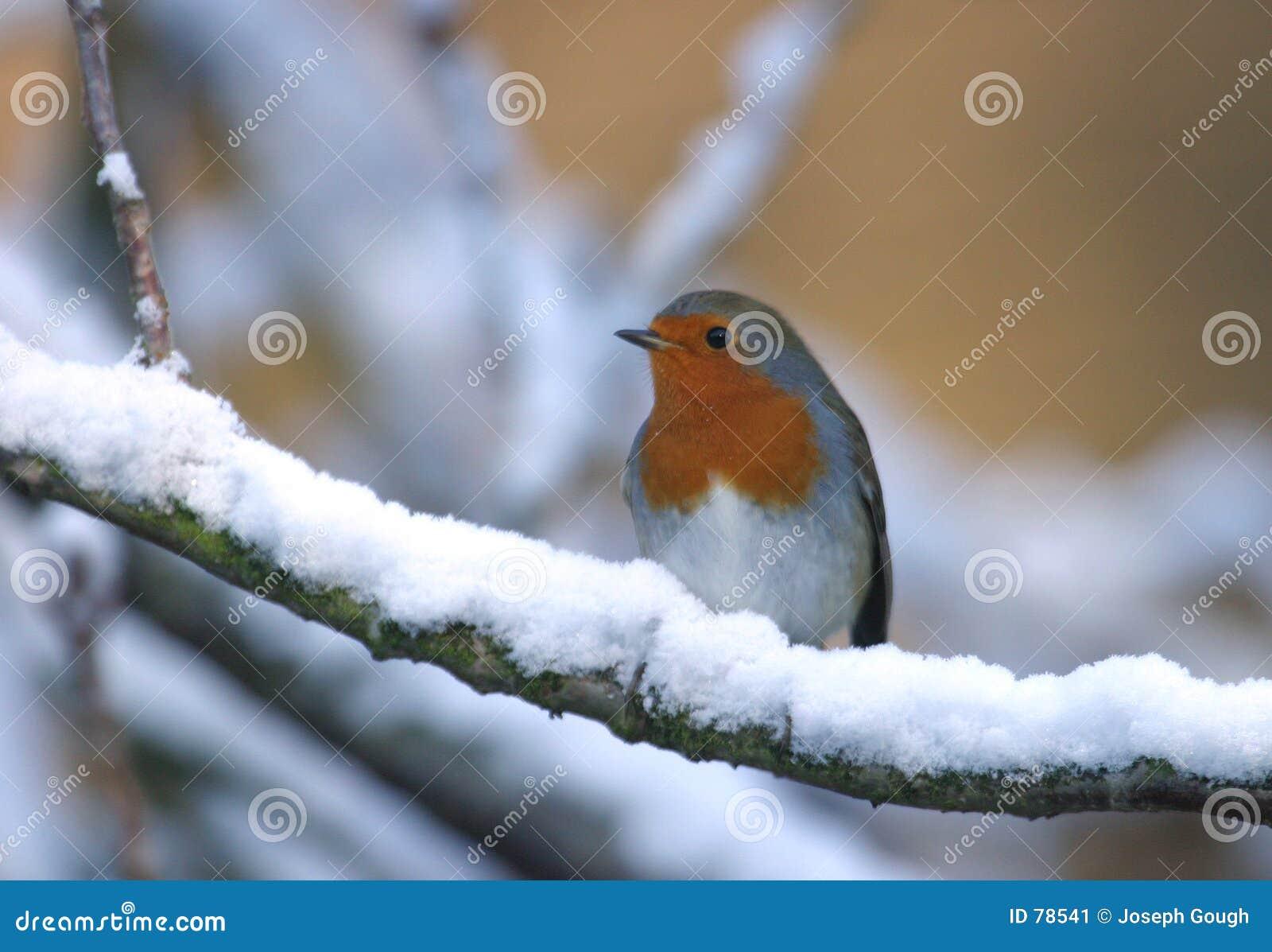 Pájaro del petirrojo en árbol de la nieve del invierno