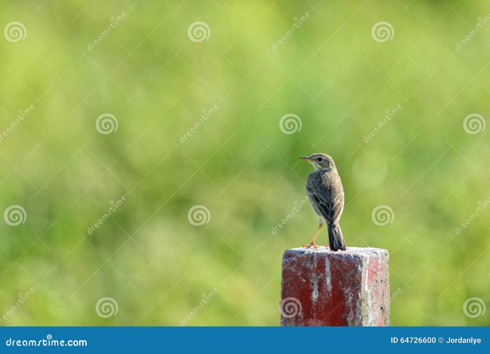 Pájaro del tordo que se coloca en un bloque de madera