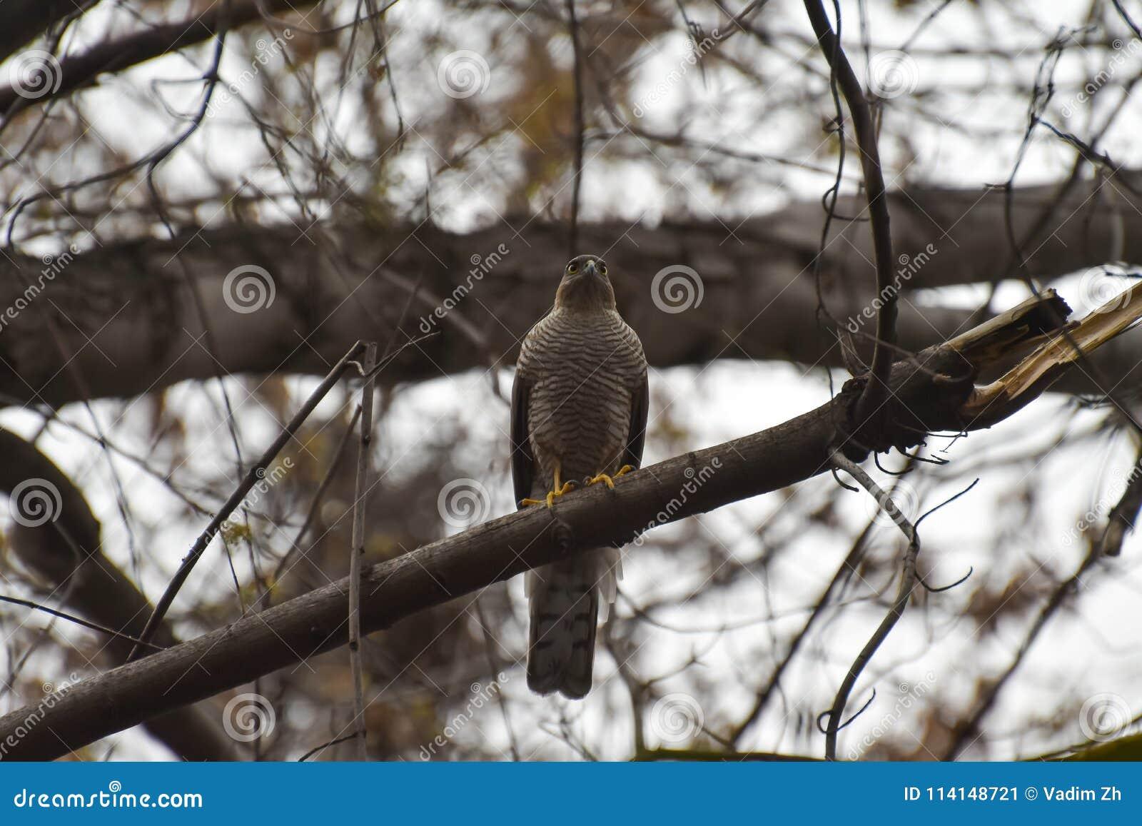Pájaro depredador, sentándose en un árbol