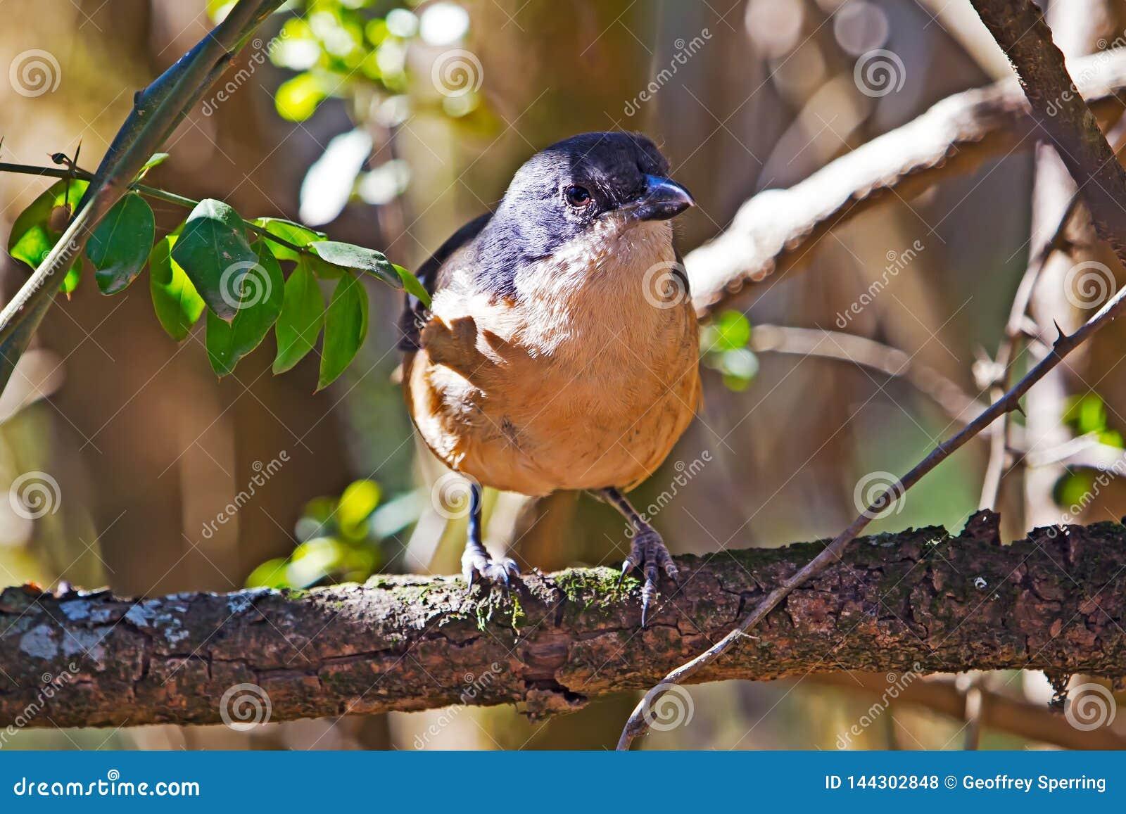 Pájaro fiscal común del alcaudón encaramado en rama de árbol