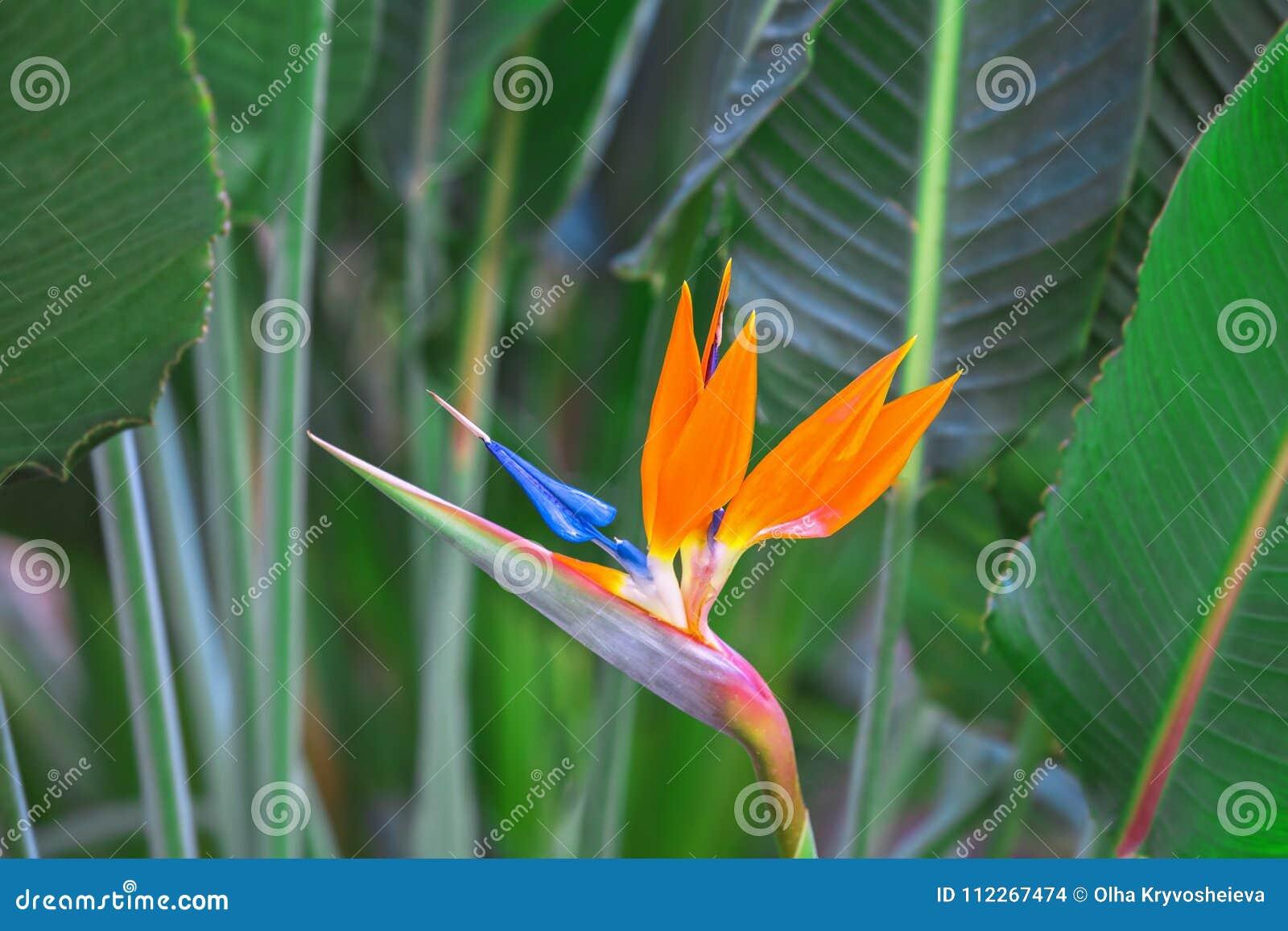 Pájaro hermoso de la flor de paraíso Reginae tropicales del Strelitzia de la flor en fondo verde