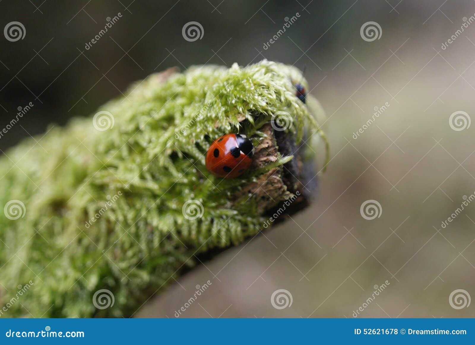 Pájaro/insecto de la señora