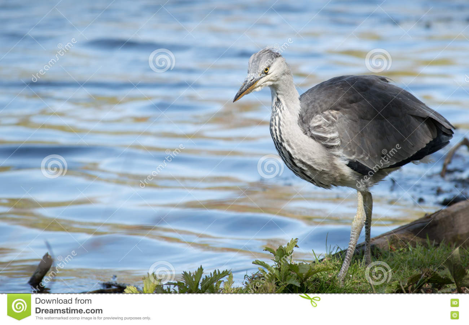 Pájaro joven de la garza