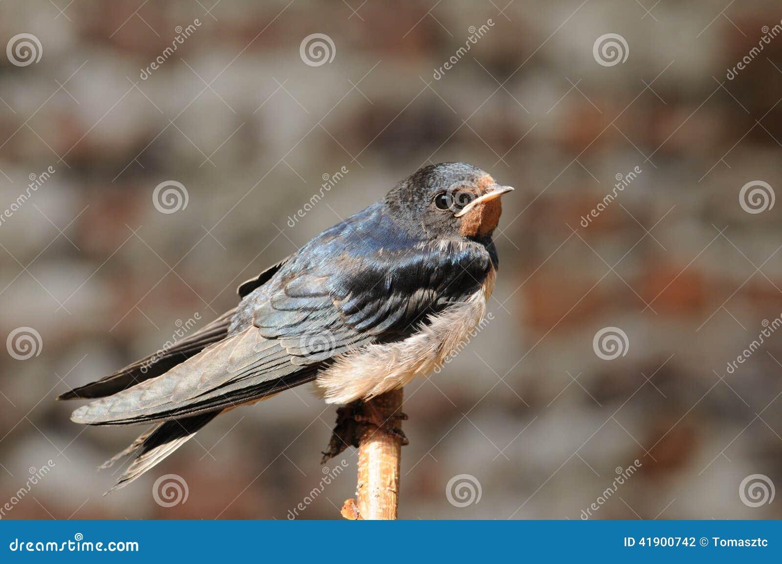 Pájaro joven del trago de granero (rustica del Hirundo)