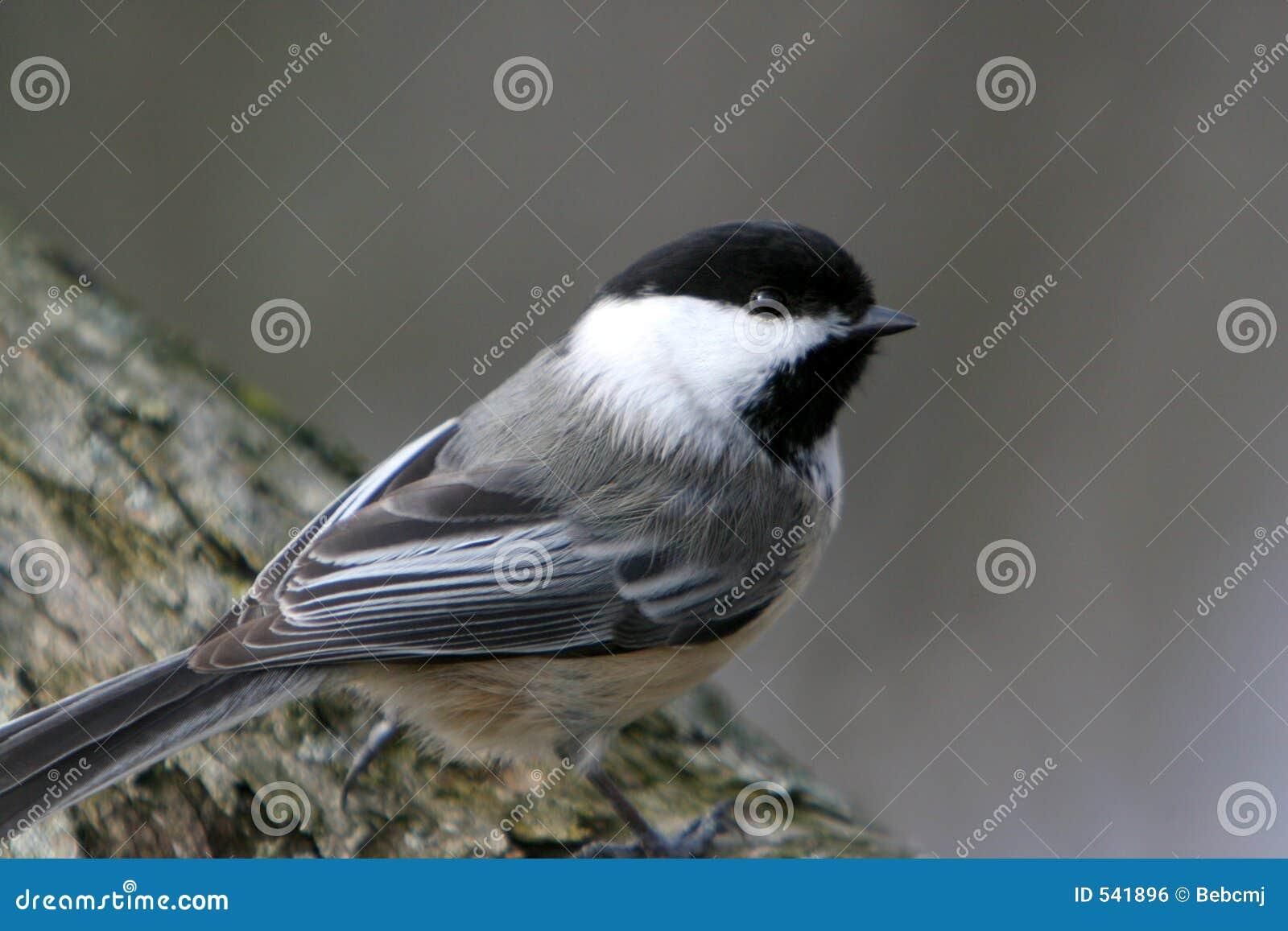 Pájaro Negro-Capsulado del Chickadee encaramado en una ramificación.