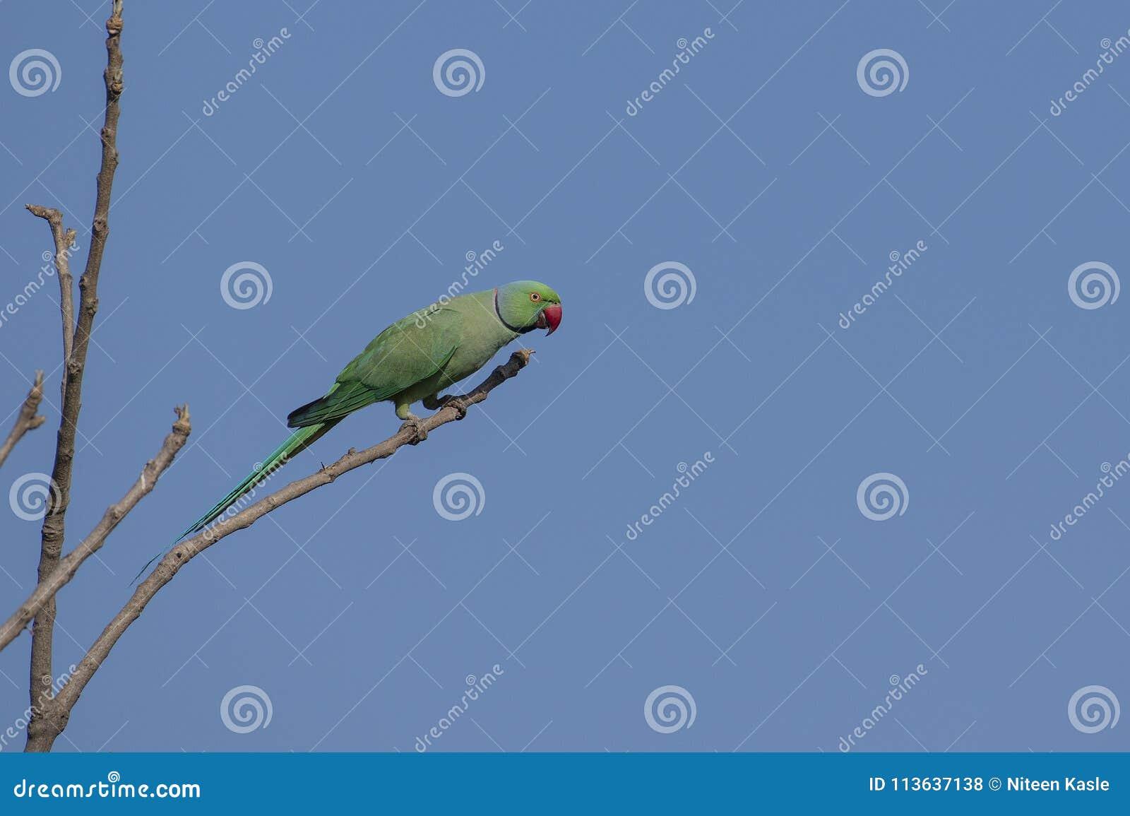Pájaro: Rose Ringed Parakeet Perched en rama de un árbol