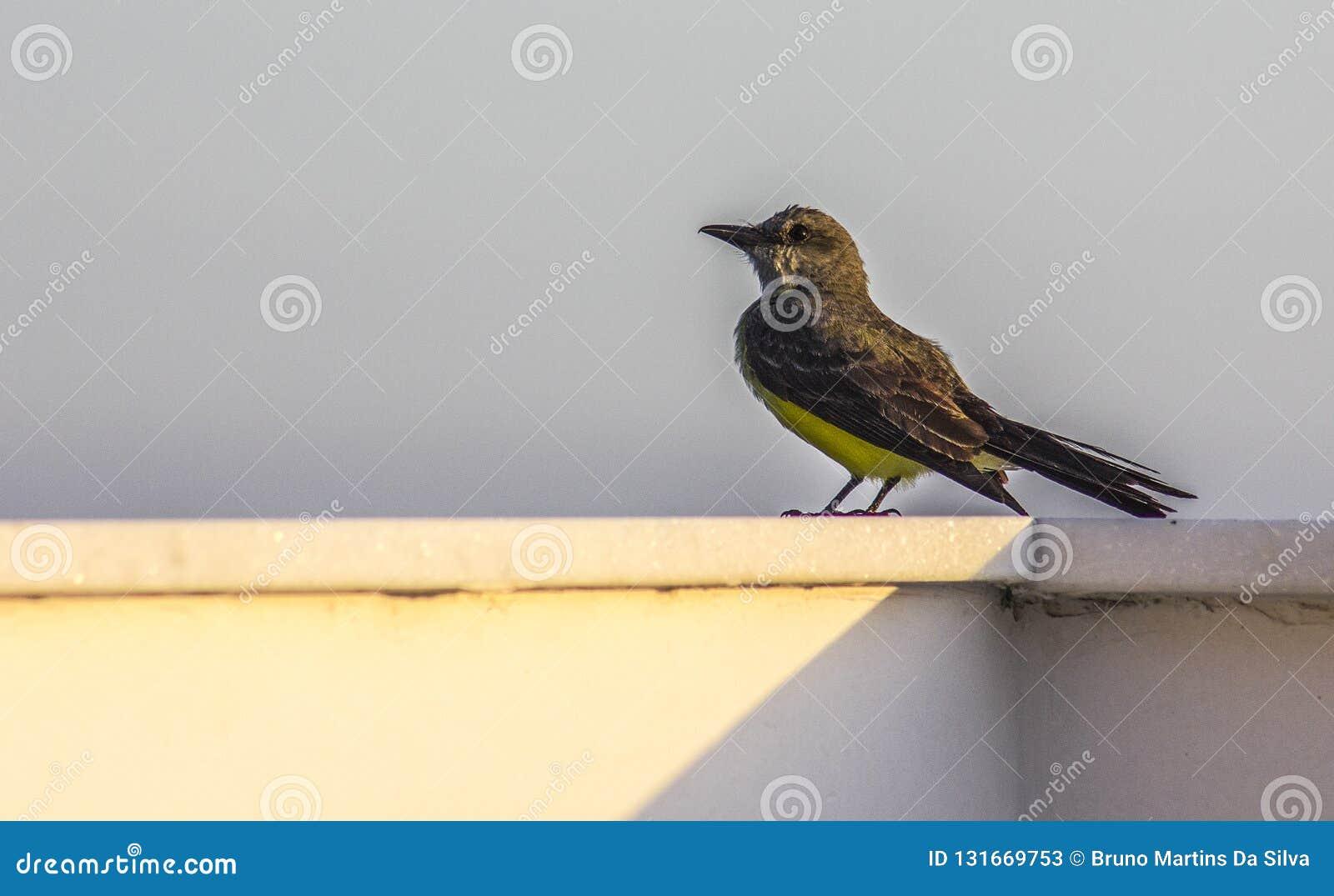 Pájaros brasileños al aire libre