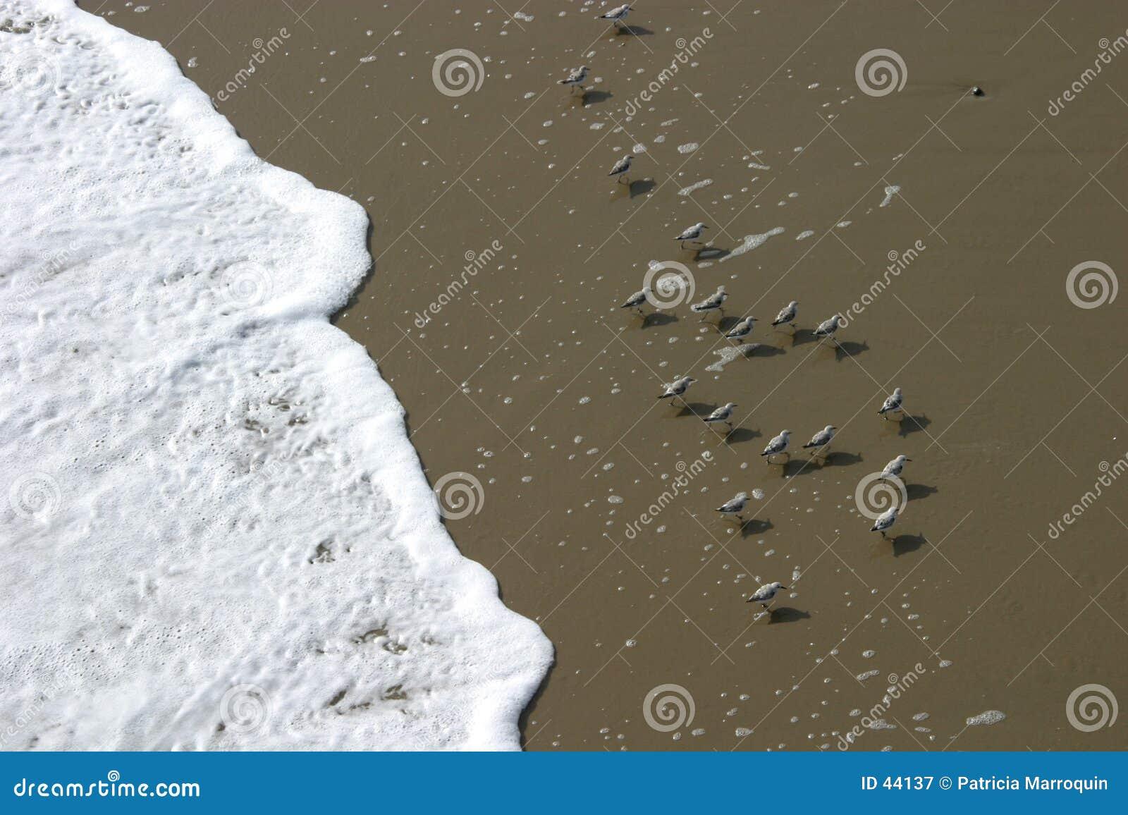 Download Pájaros de la playa imagen de archivo. Imagen de espuma - 44137