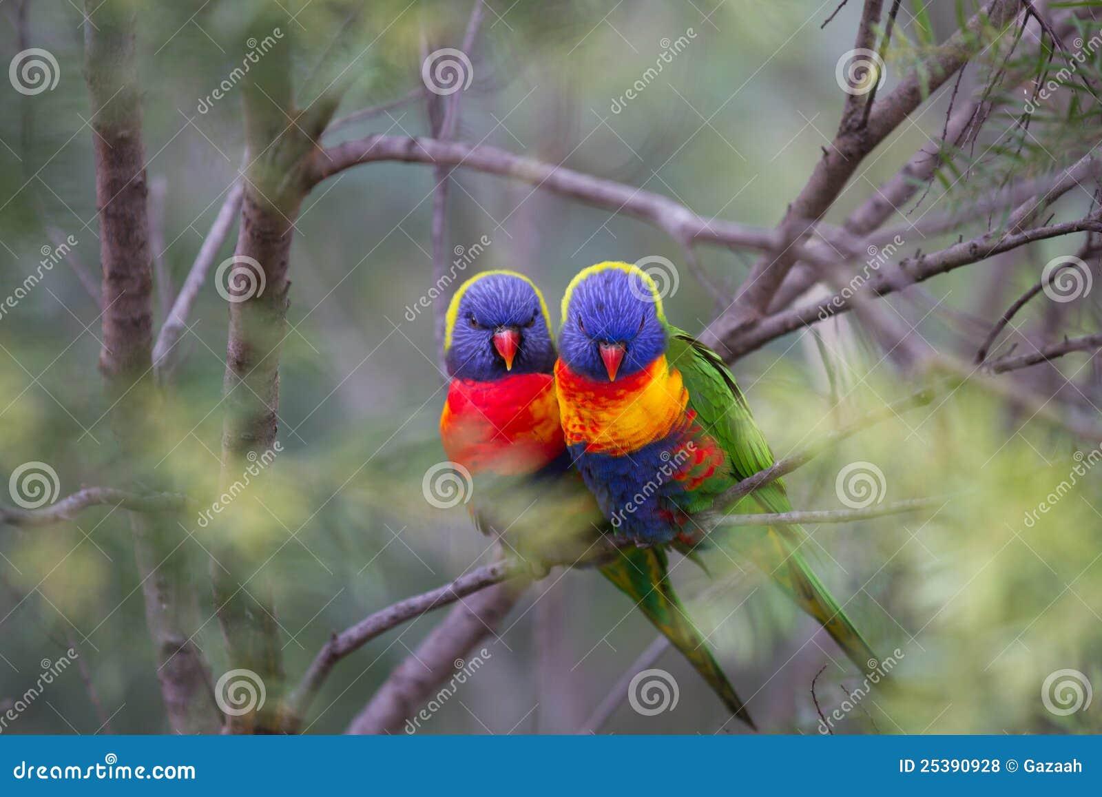 Pájaros del amor en una configuración suave del arbusto