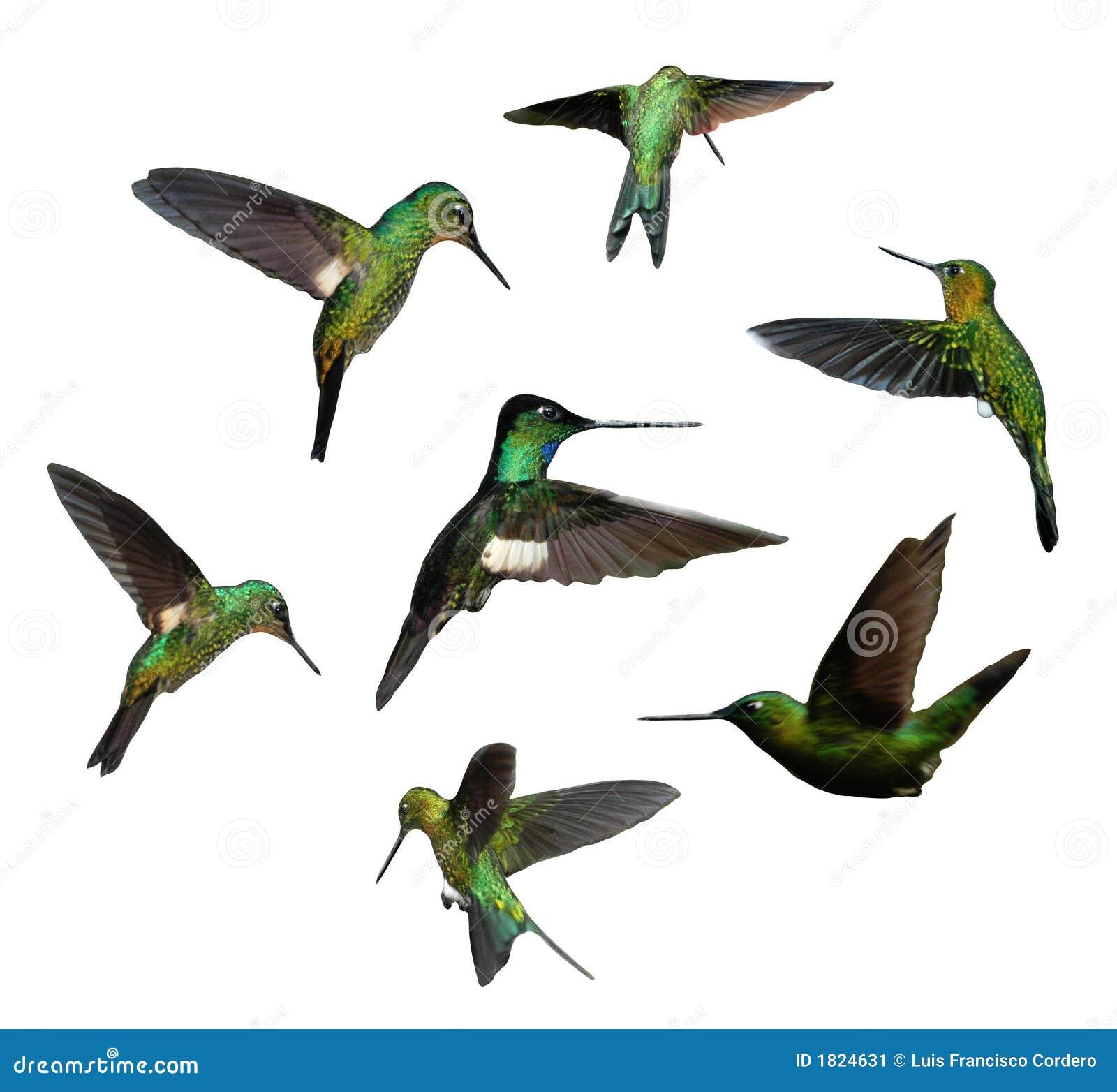 Pájaros del tarareo