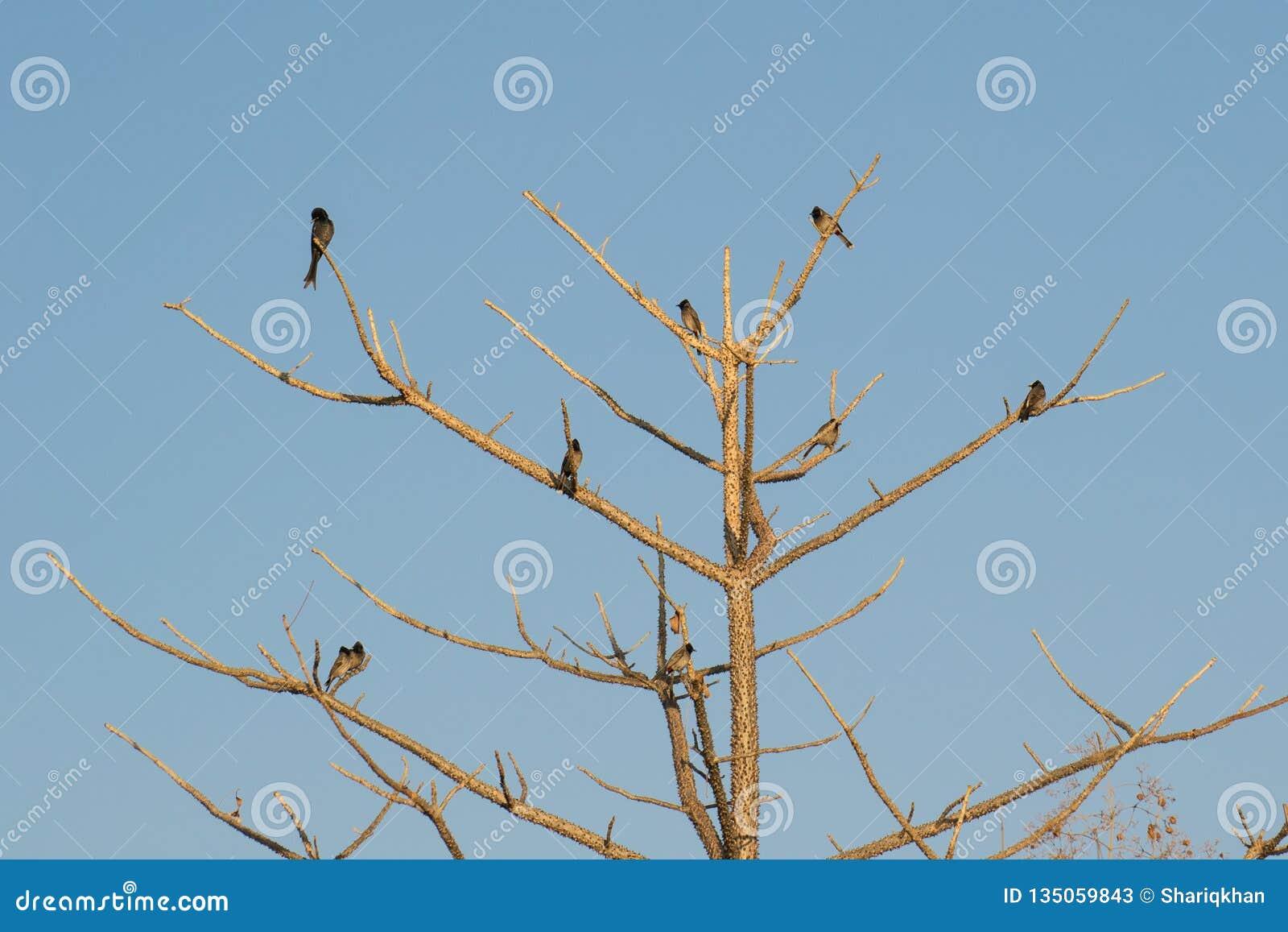 Pájaros en árbol espinoso