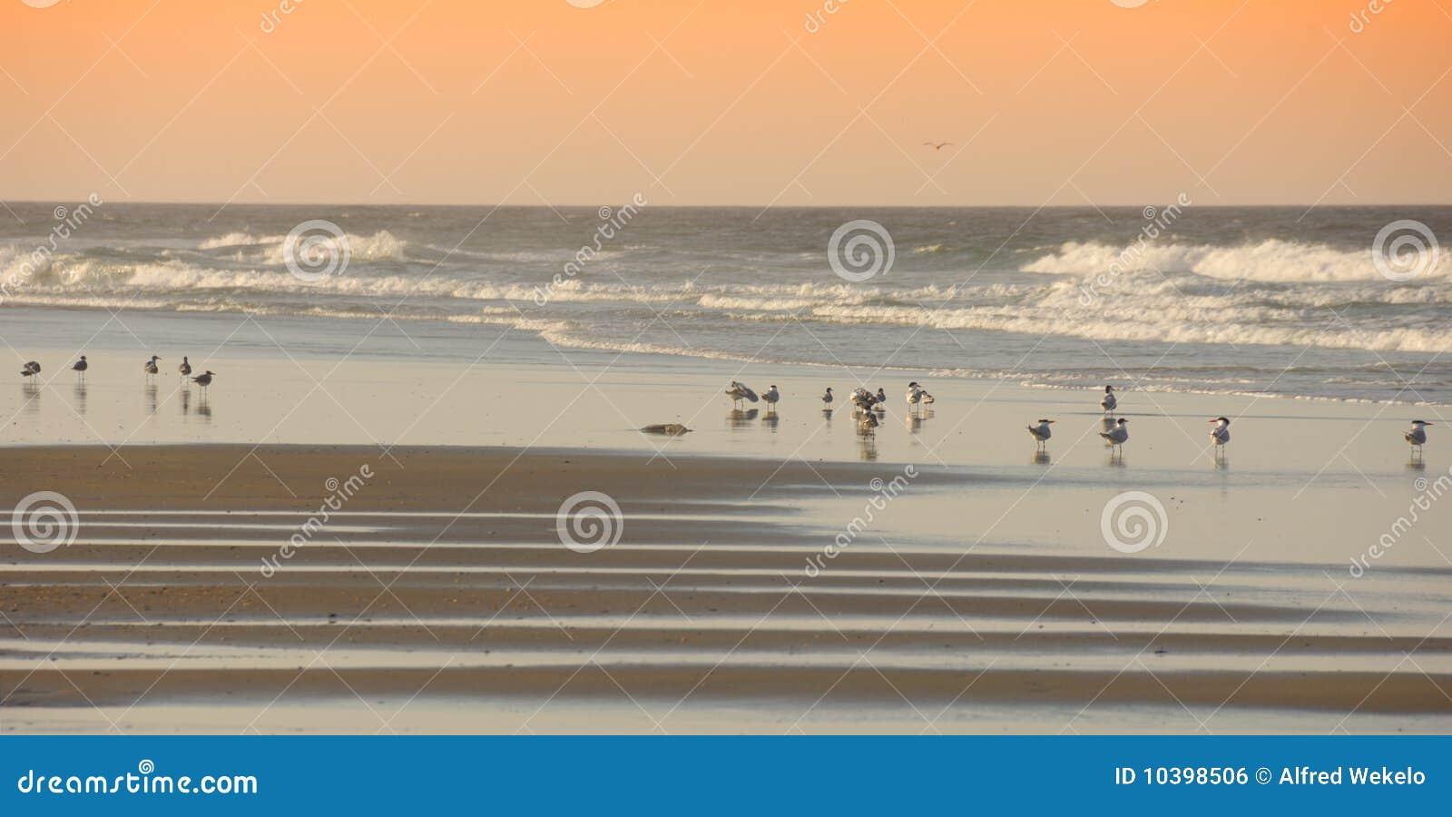 Pájaros en la playa Outerbanks Carolina del Norte