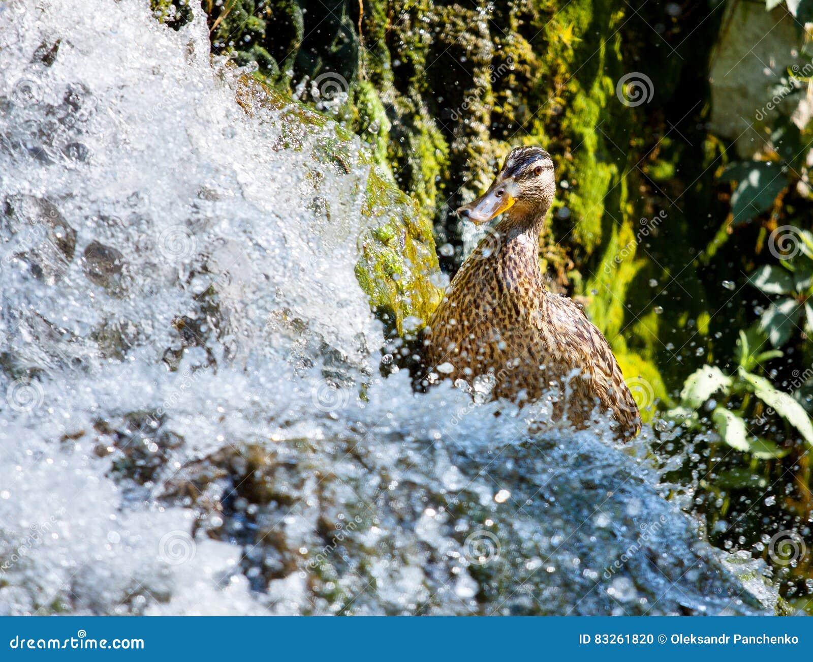 Pájaros Y Animales En Fauna Caza Del Pato Para La Comida Cerca Del ...