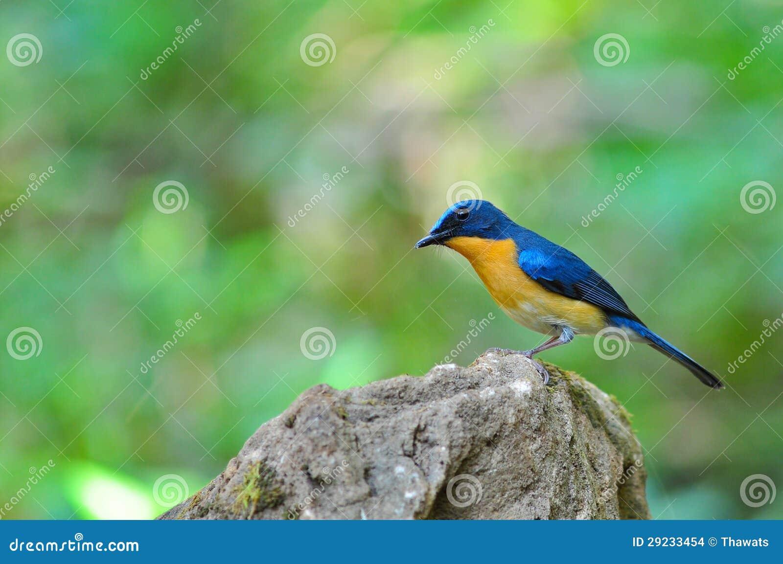 Download Pássaro Azul Do Flycatcher Do Monte Foto de Stock - Imagem de flycatcher, colorido: 29233454