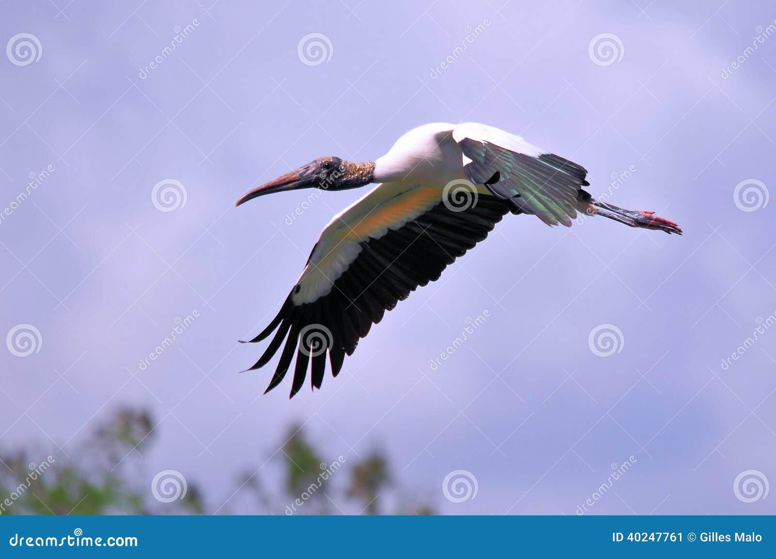 Pássaro branco da cegonha de madeira que voa sobre a água