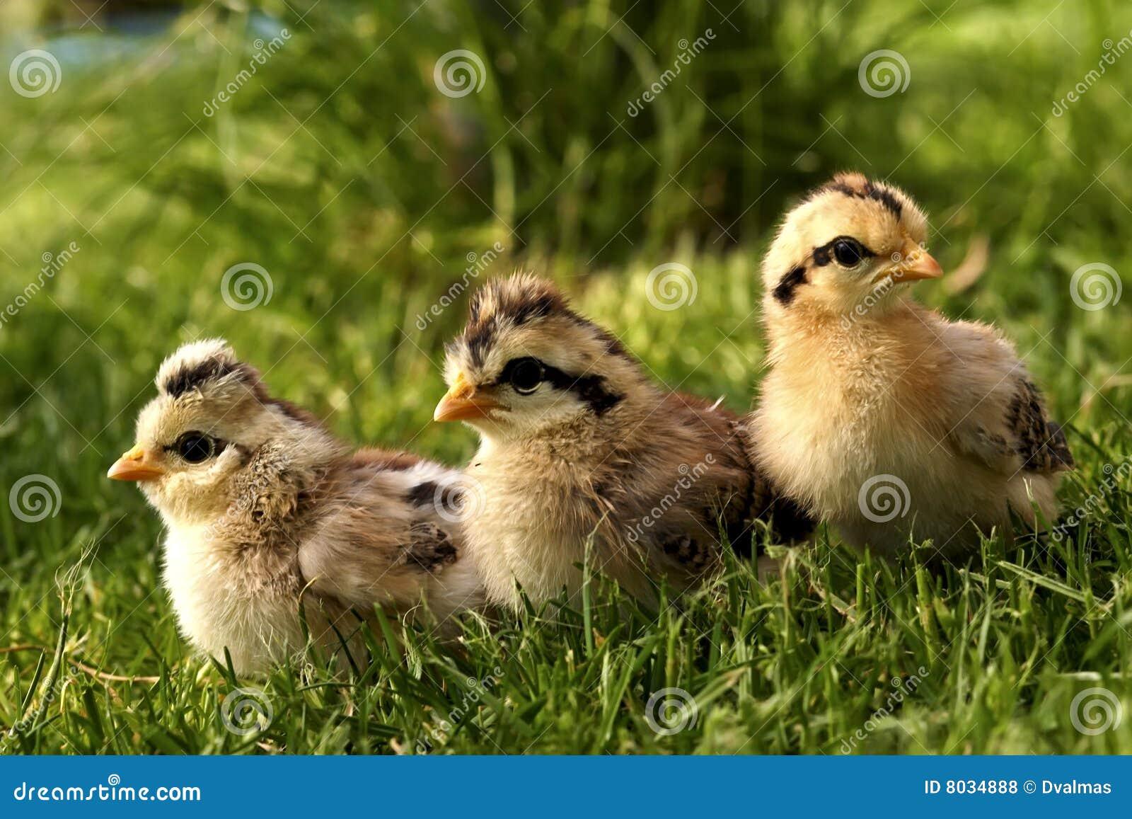 Pássaro-codorniz do bebê.