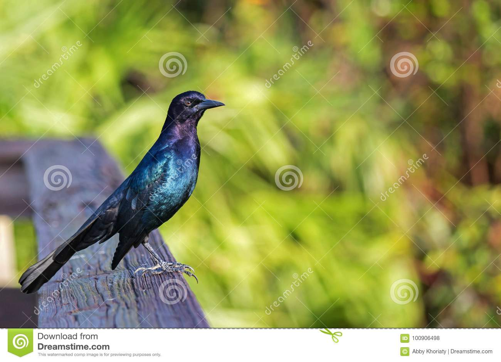Pássaro comum de Grackle em trilhos