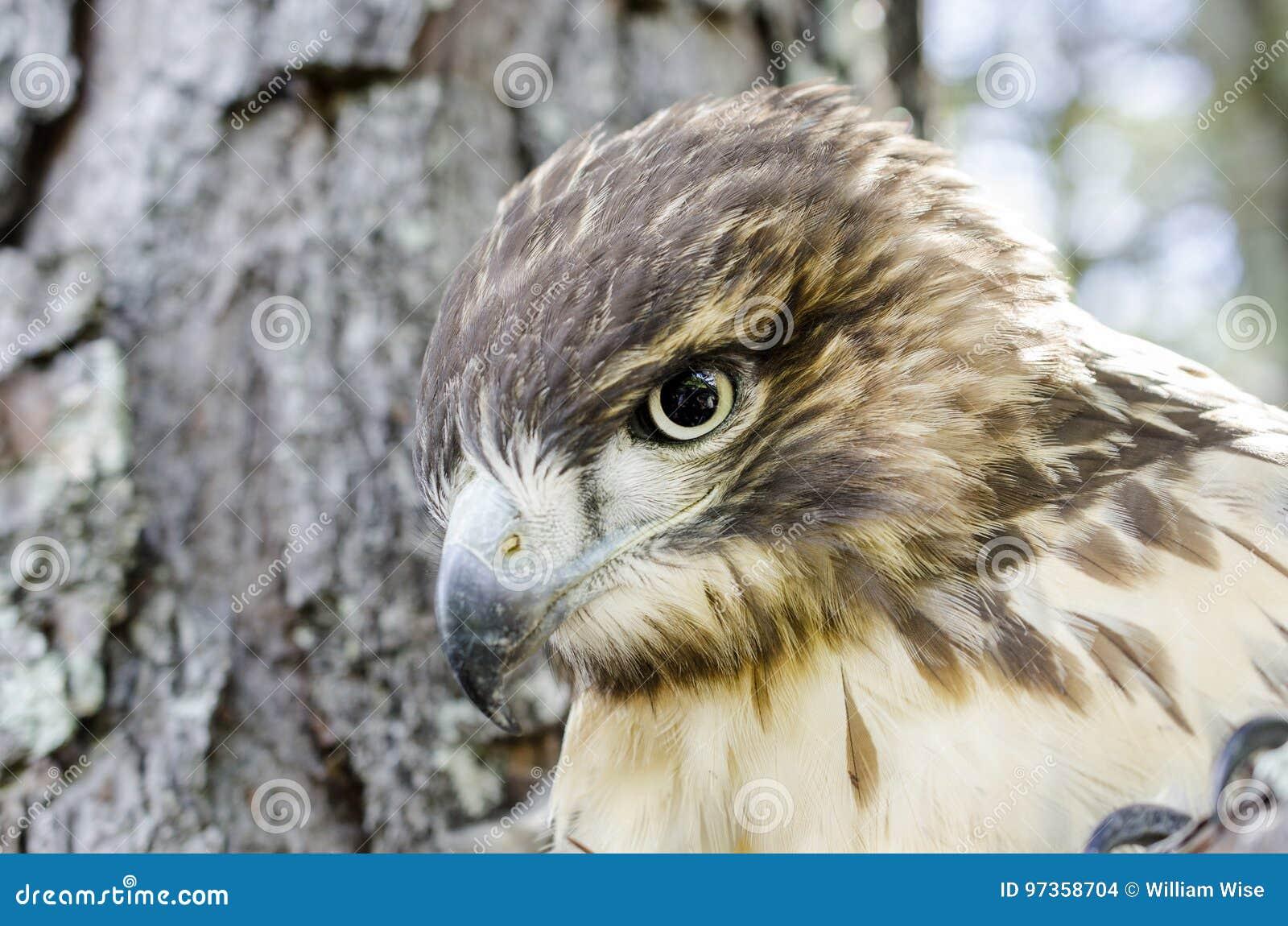pássaro da ave de rapina de rapina vermelho juvenil falcão atado