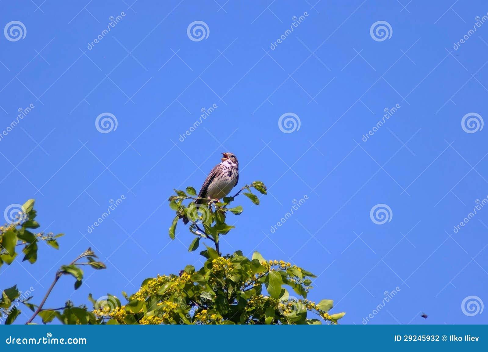 Download Pássaro Da Estamenha De Milho Pelo Lago Kerkini. Foto de Stock - Imagem de wildlife, milho: 29245932