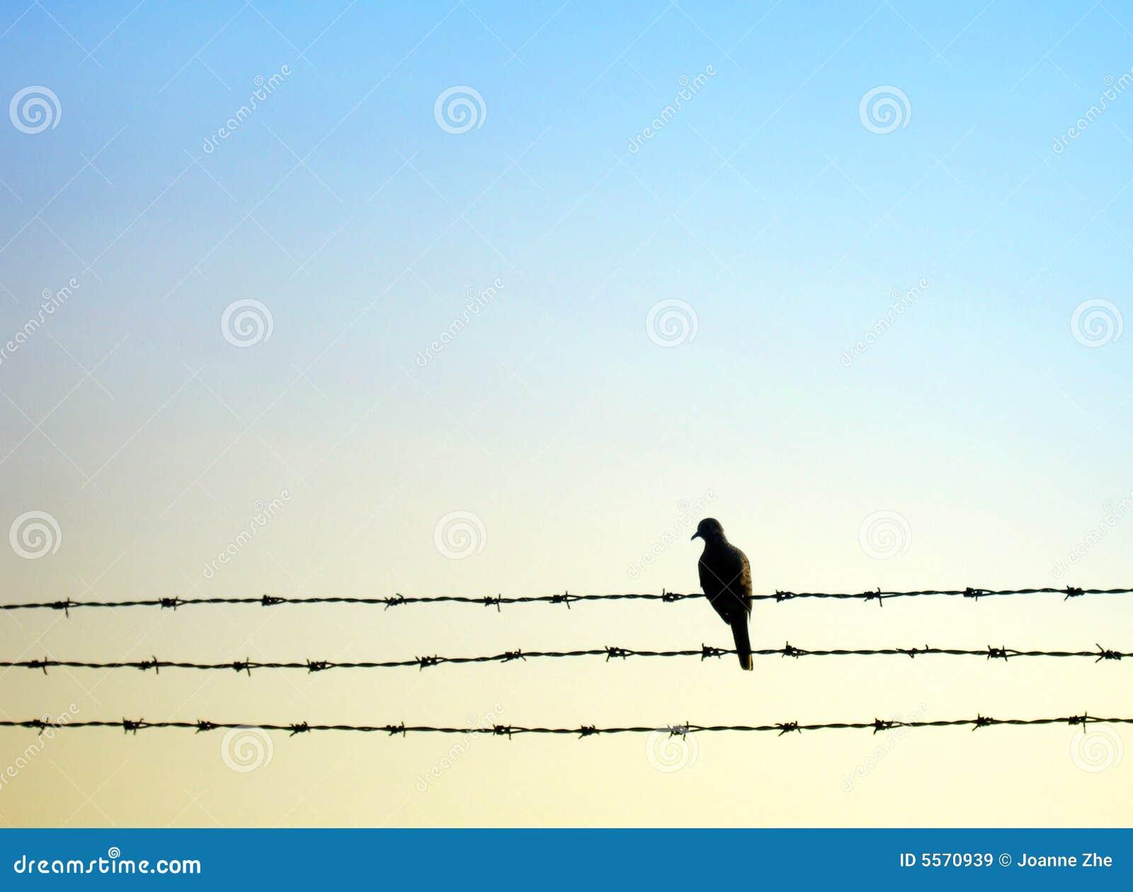 Pássaro da pomba no fio da farpa