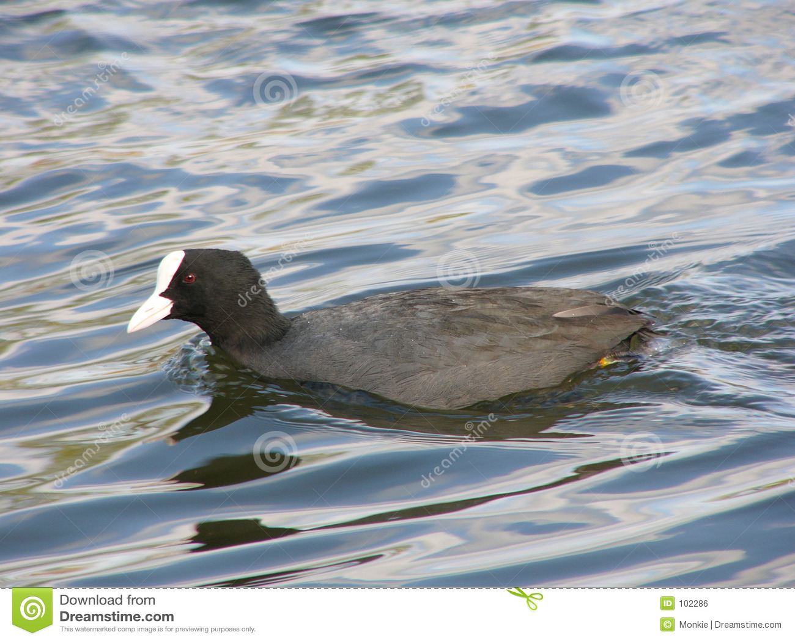 Pássaro de água