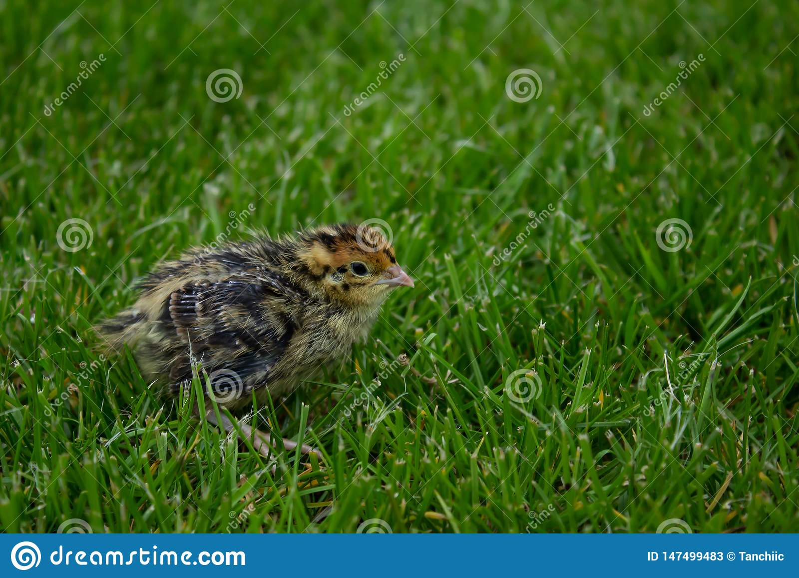 Pássaro de bebê das codorniz japonesas na grama verde