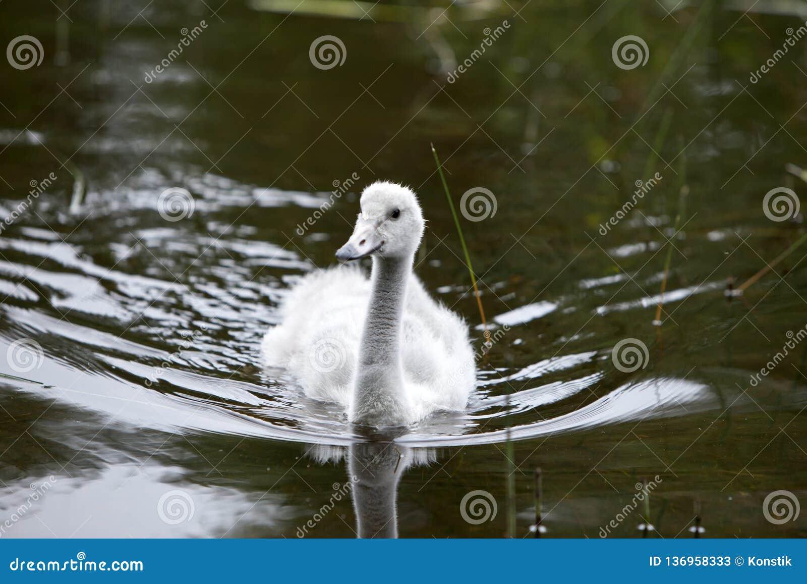 Pássaro de bebê de uma cisne no lago