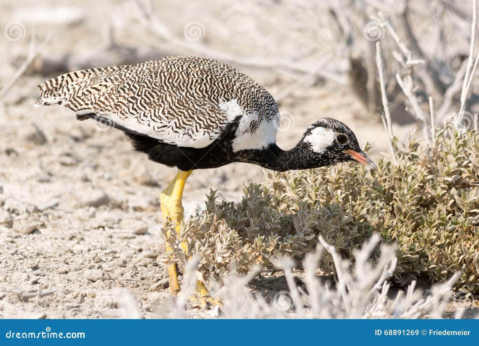 Pássaro de Courser na busca para o alimento