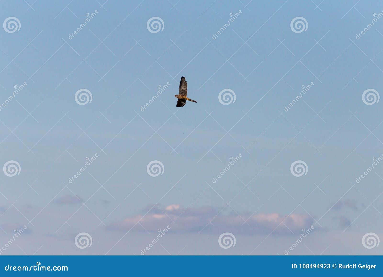 Pássaro de rapina que voa altamente no céu azul profundo