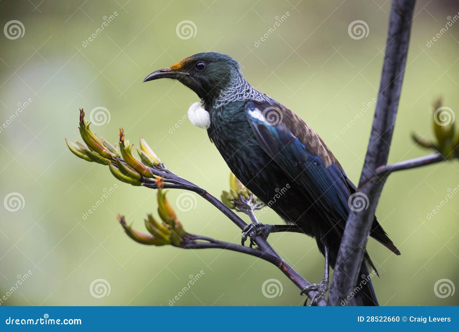 Pássaro de Tui