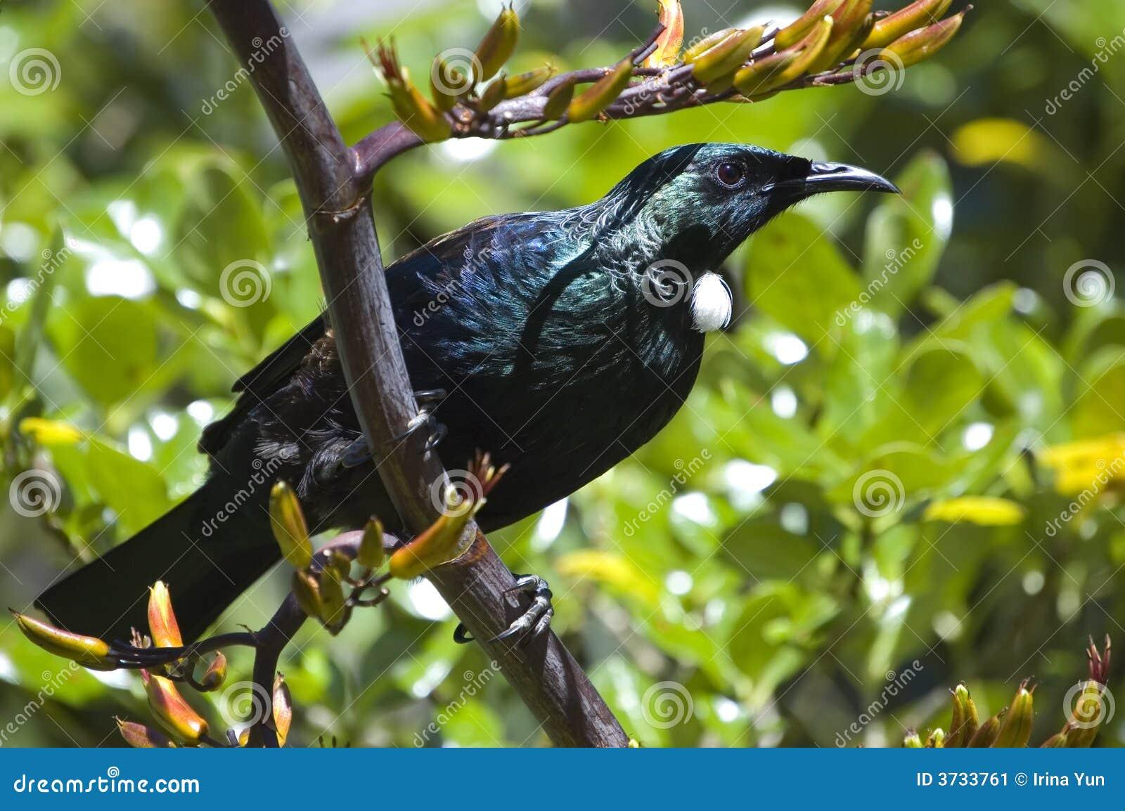 Pássaro de Tui que senta-se em uma planta do linho