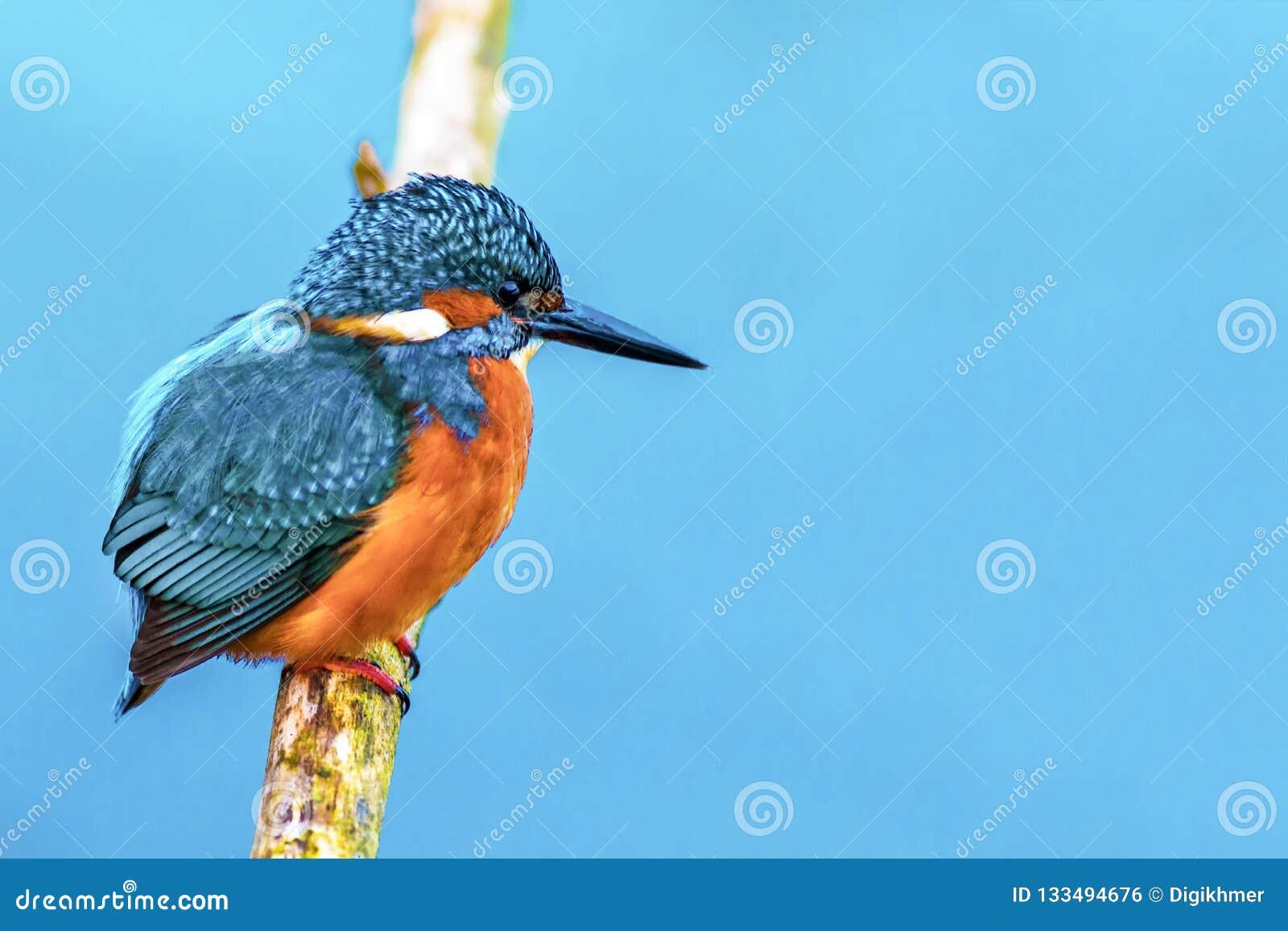 Pássaro do fisher do rei em um ramo