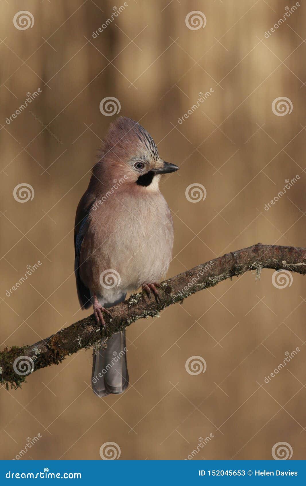 Pássaro do glandarius de Jay Garrulus do europeu