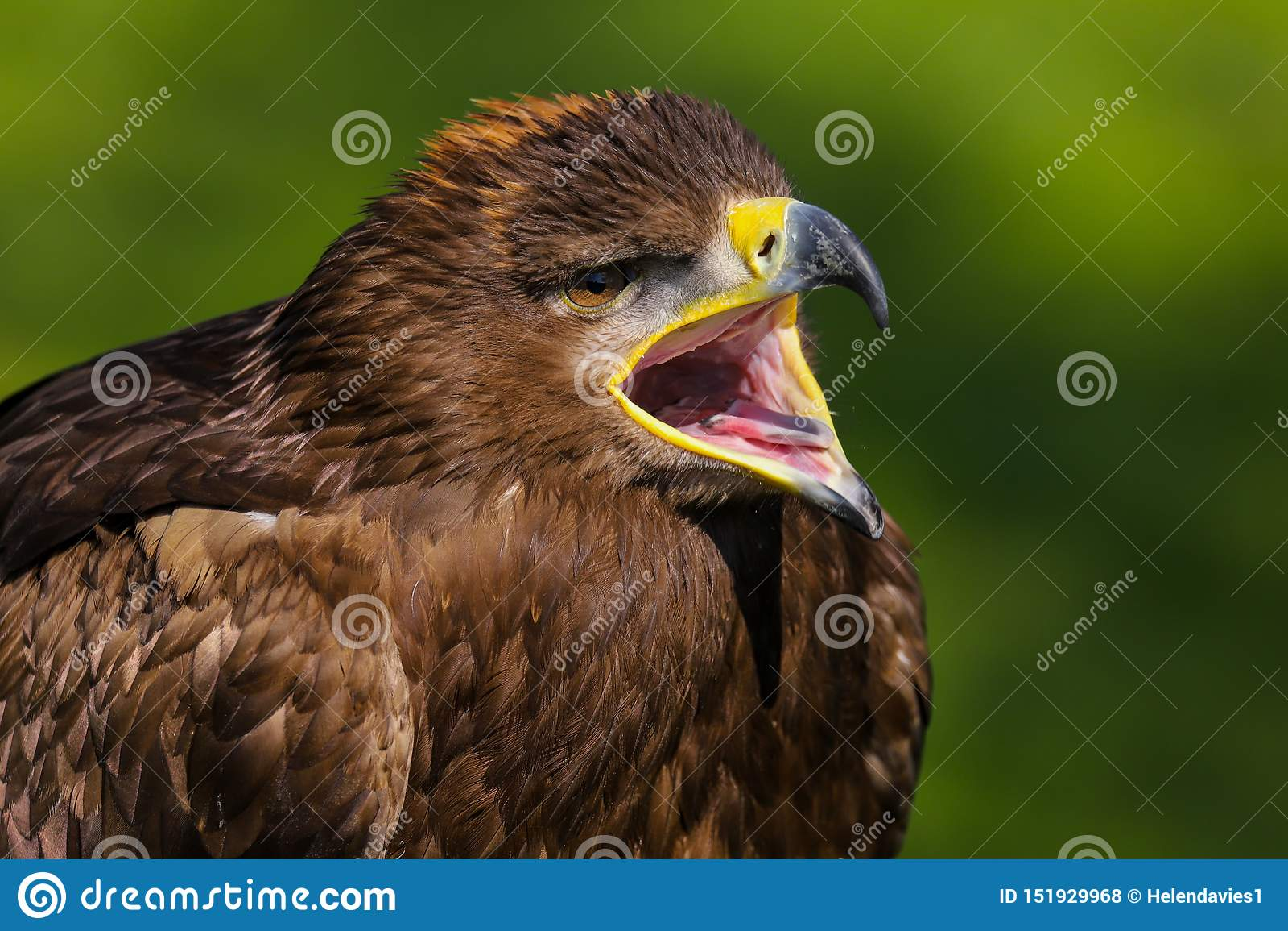 Pássaro do nipalensis de Eagle aquila do estepe de rapina