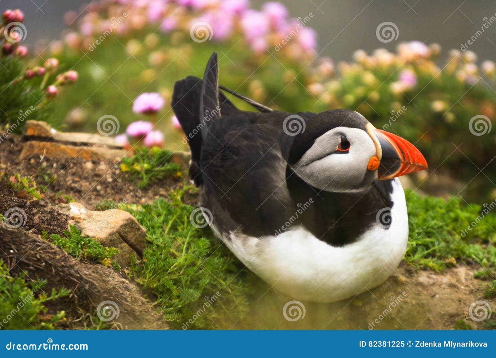 Pássaro do papagaio-do-mar na grama