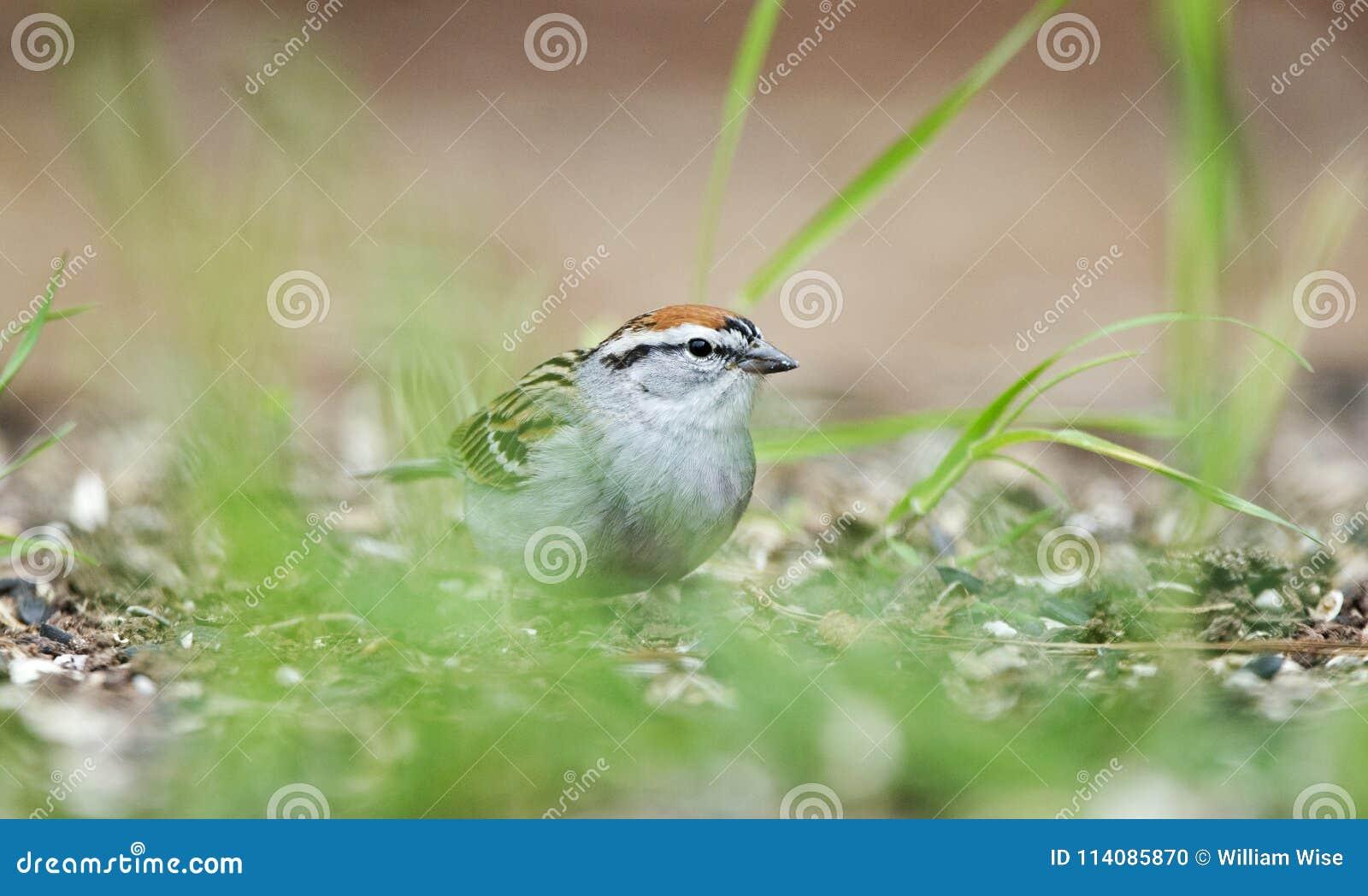 Pássaro do pardal lascando-se que come sementes na grama, Atenas GA, EUA