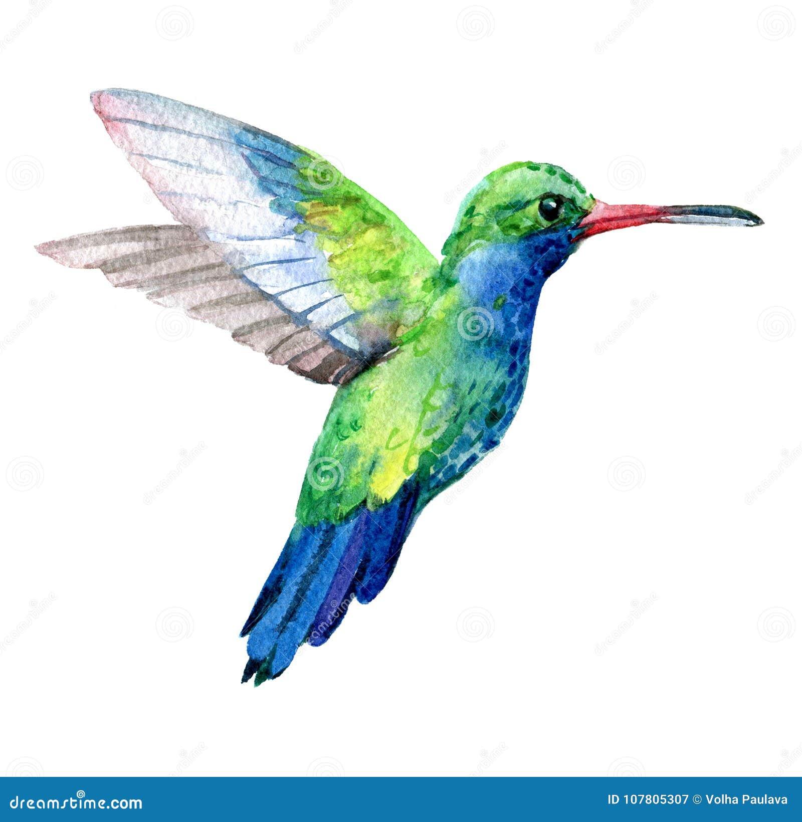 Pássaro do zumbido, pássaros exóticos isolados no fundo branco, aquarela