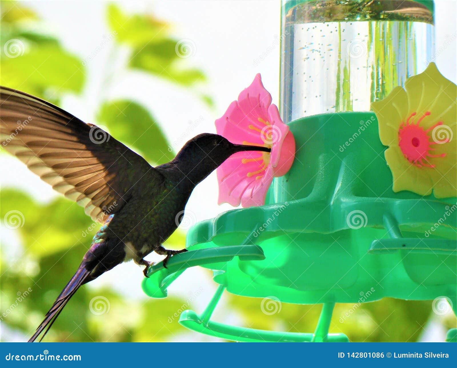 Pássaro do zumbido