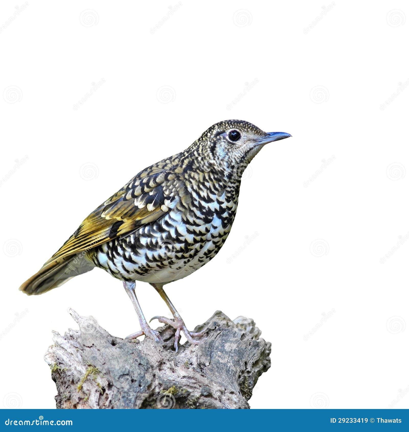 Download Pássaro escamoso do tordo imagem de stock. Imagem de watching - 29233419