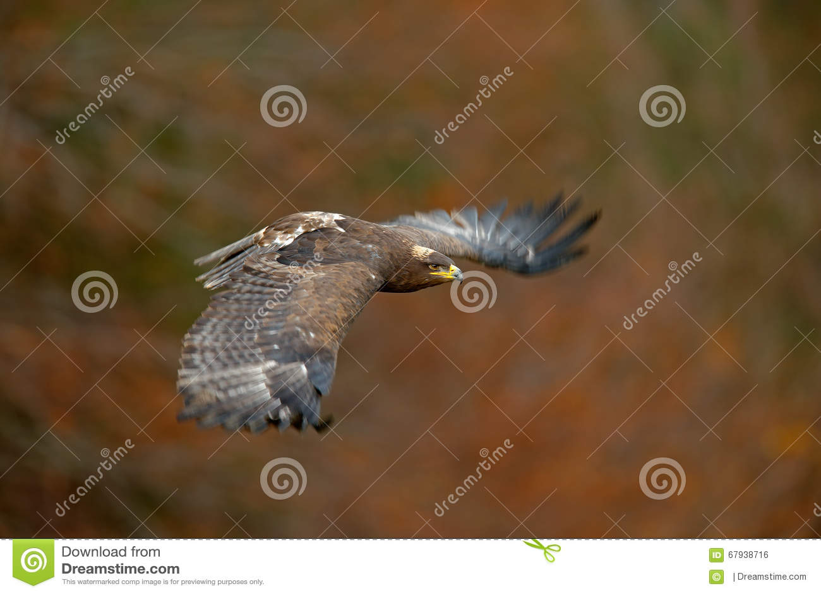 Pássaro escuro de voo dos músculos do estepe Eagle da rapina, nipalensis de Aquila, com grande envergadura