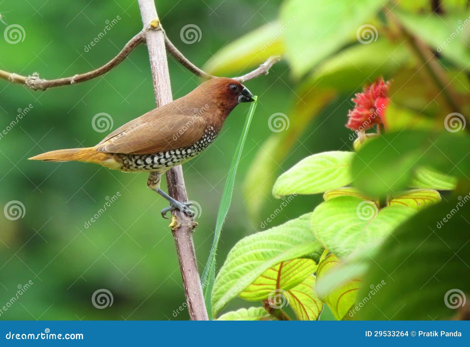 Pássaro manchado pequeno bonito do munia que constrói um ninho
