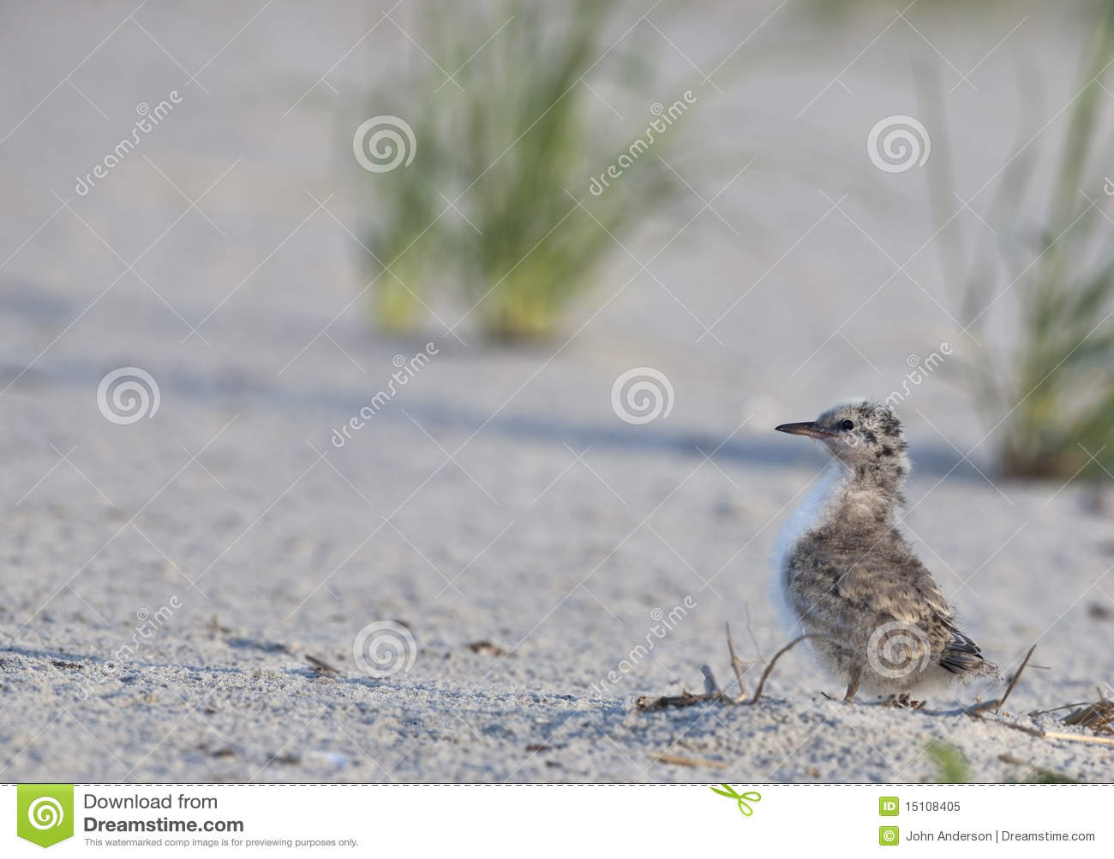 Pássaro novo comum da andorinha-do-mar (Hirundo dos esternos)