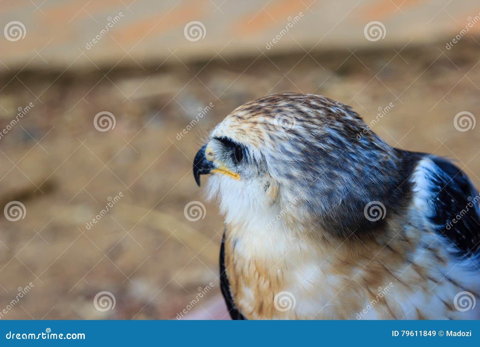 Pássaro novo do falcão