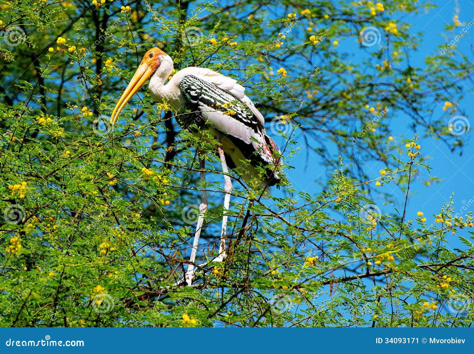 Pássaro pintado da cegonha