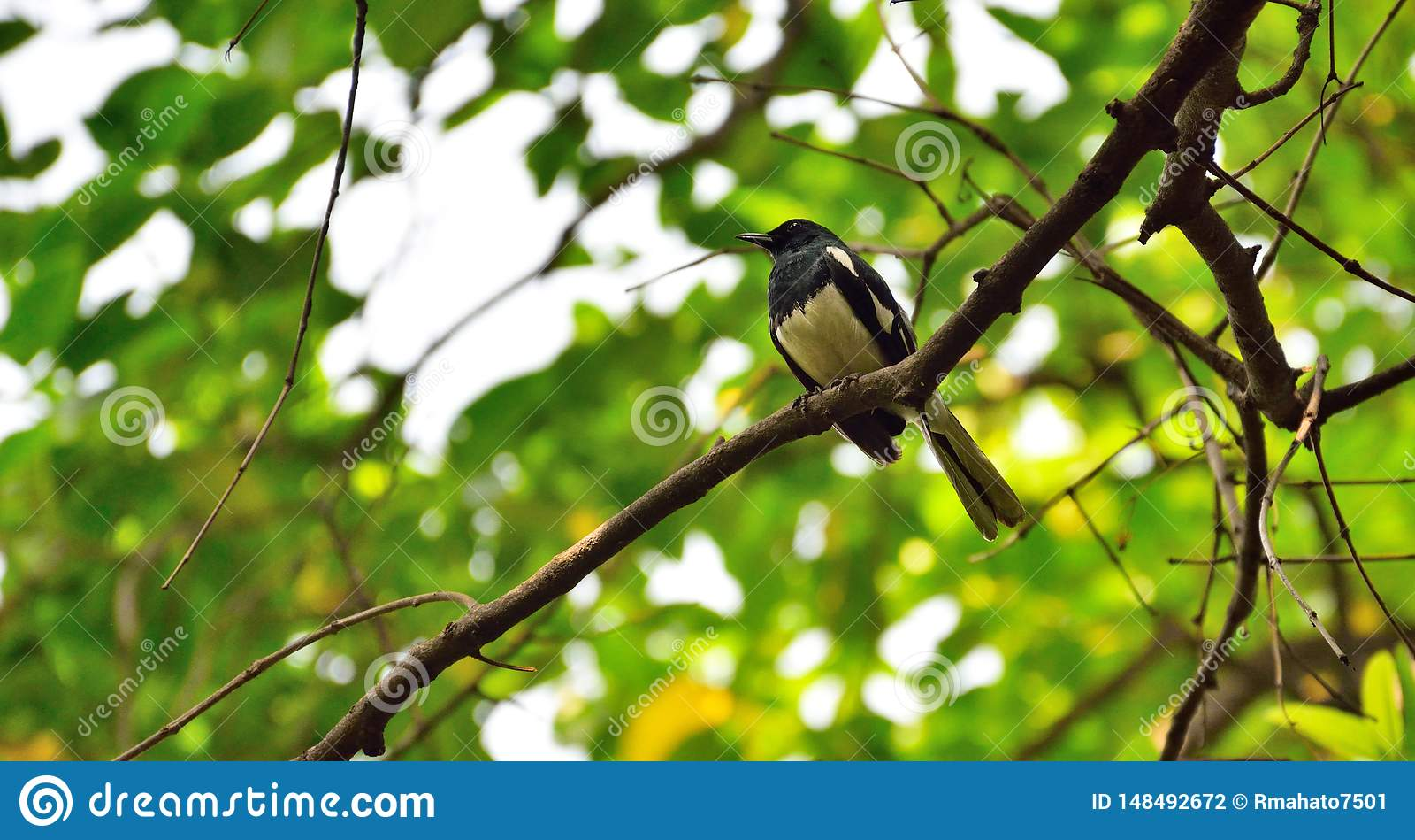 Pássaro preto & branco pouco no ramo leafless