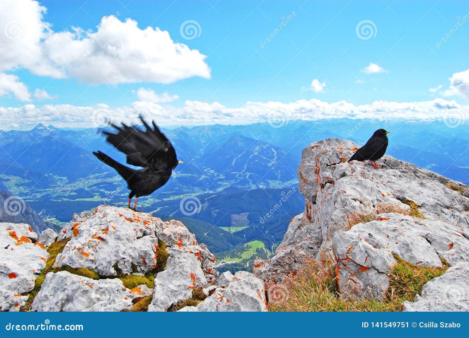 Pássaro preto no topo do mundo, beleza da natureza, paisagem alpina azul, céu azul, picos de montanha cobertos de neve