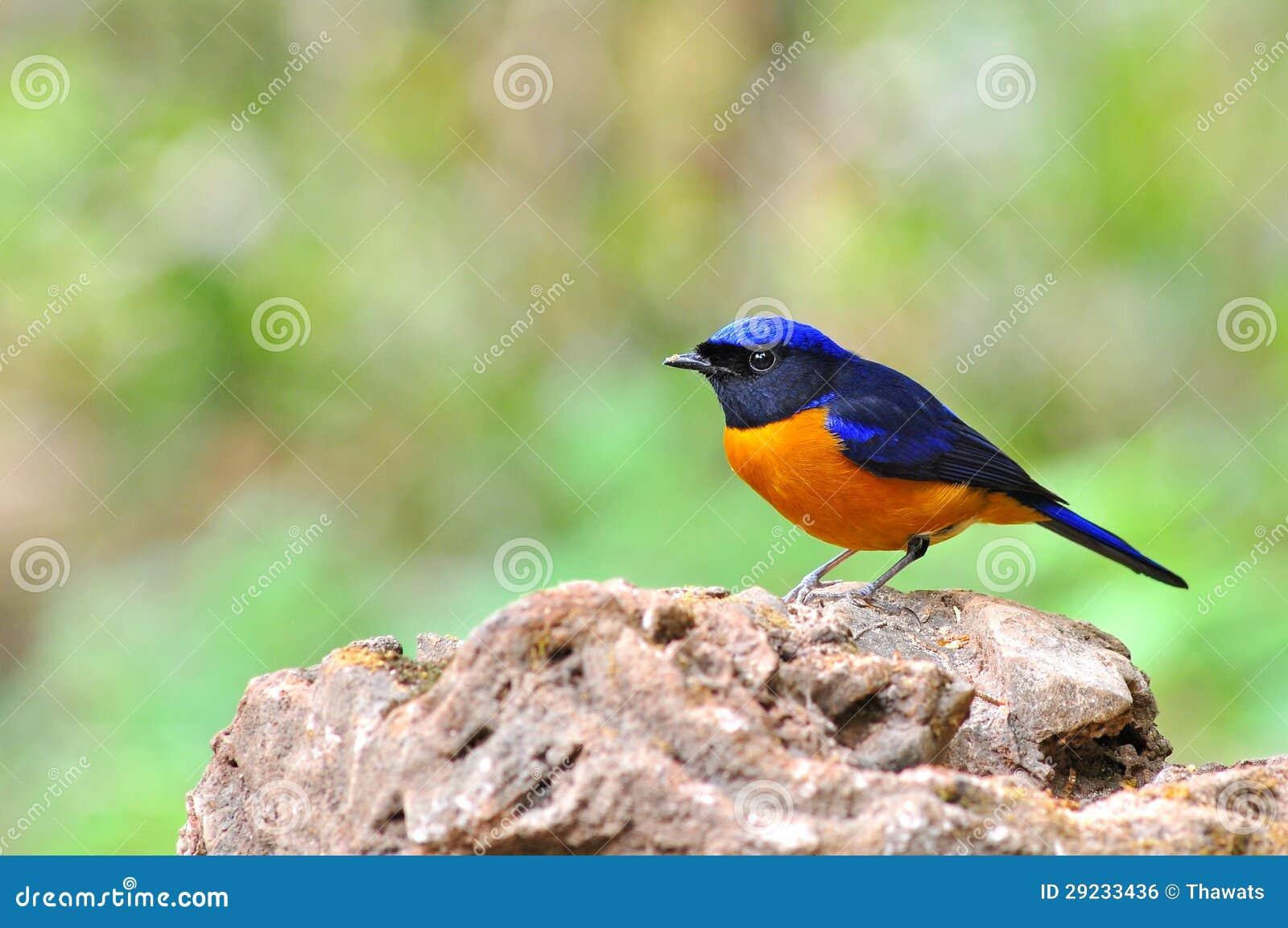 Download Pássaro Rufous-inchado De Niltava Foto de Stock - Imagem de fundo, nave: 29233436