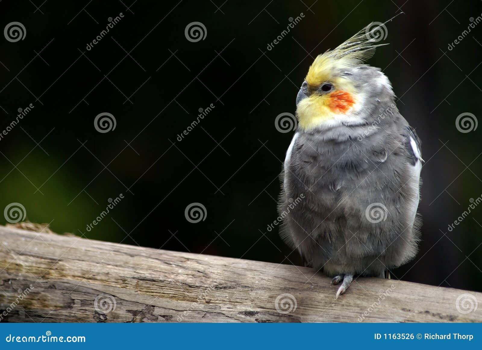 Pássaro só do Cockatiel em uma filial de árvore